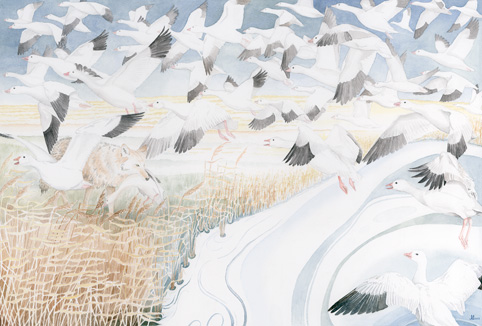 Jo Gittins - Snow Geese & Coyote